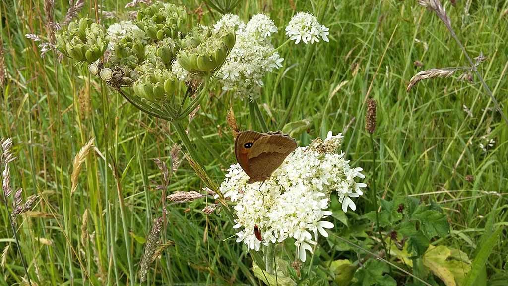 Meadow Brown butterly (usual culprit!)