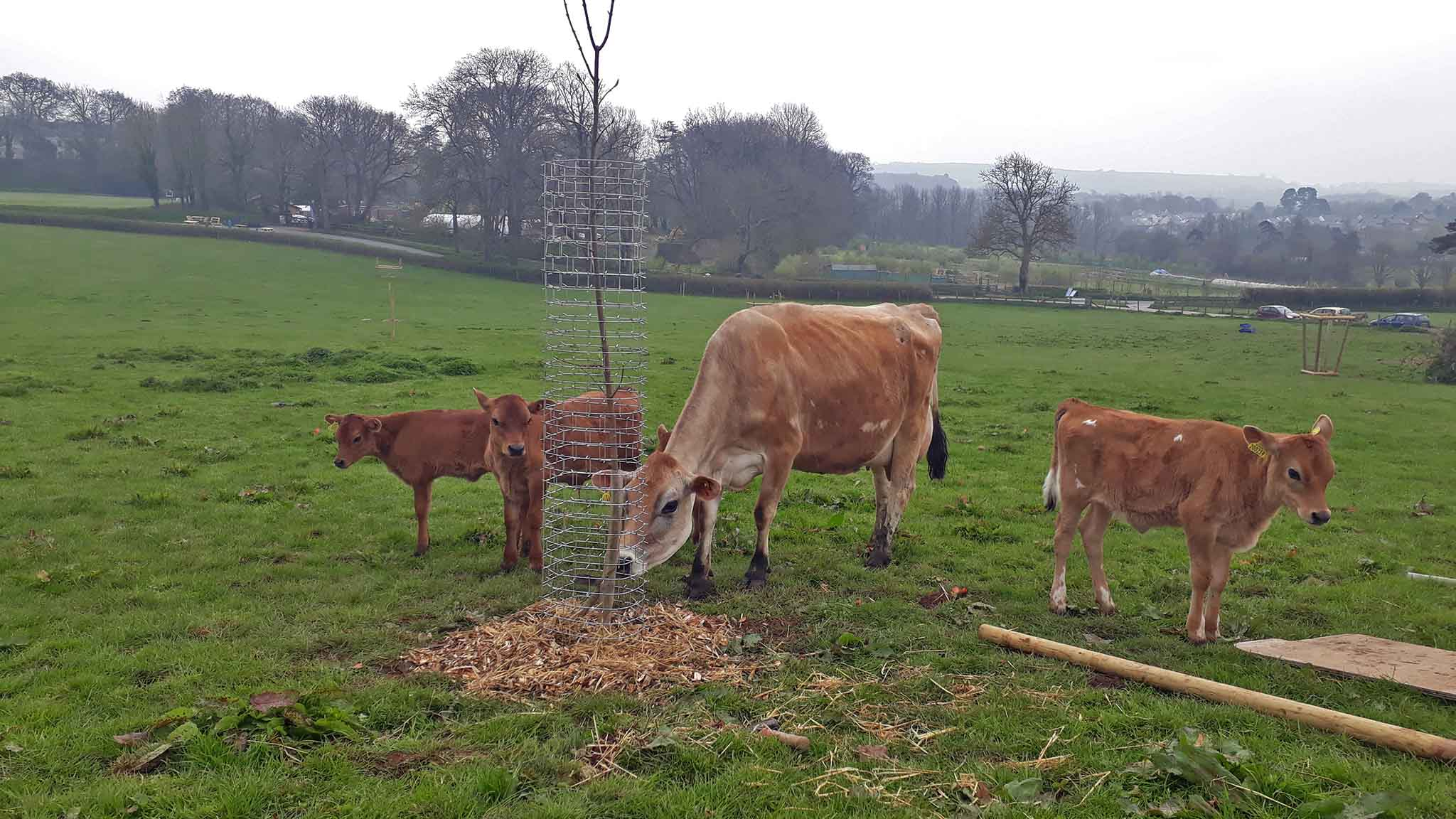 Cows mill around one of our new Cactus Guards on Plum Plot