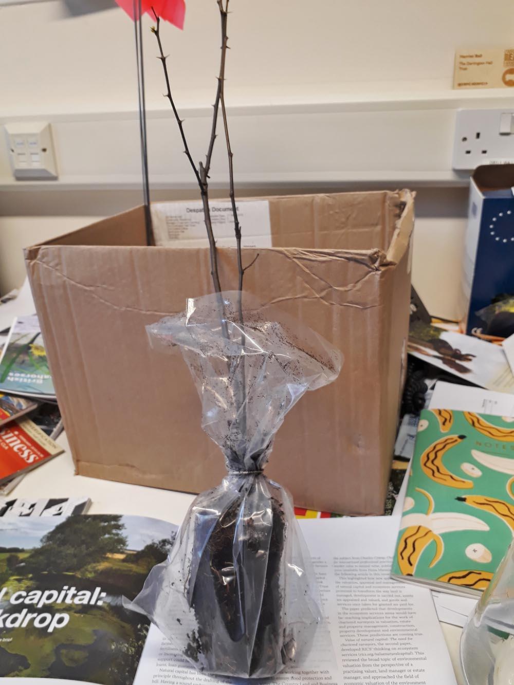 Black Locust tree on Harriet's desk
