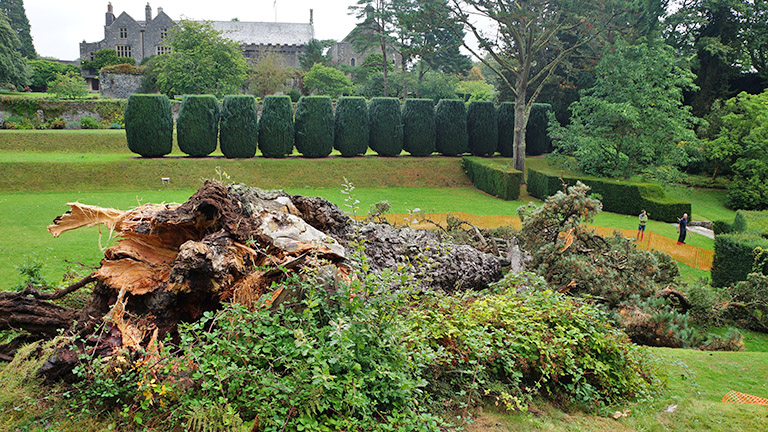 Monterey Pine falls in Dartington gardens