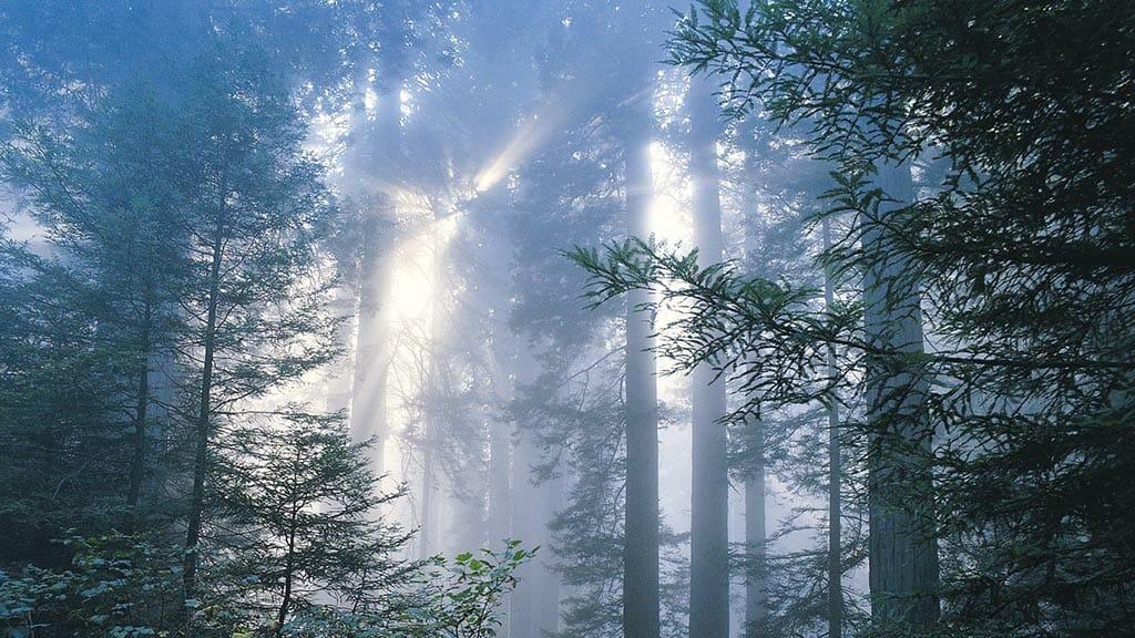 Pine trees on the Dartingtone estate